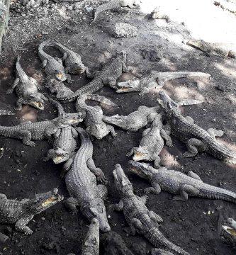 Criadero de cocodrilos, Bahía de Cochinos